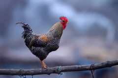 Coq coloré images libres de droits