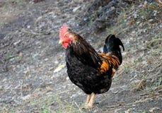 Coq coloré Photos libres de droits