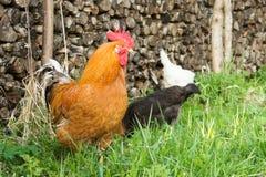 Coq coloré dans l'herbe sur le fond des poules de palancers, blanches et noires picotant l'herbe verte Photographie stock libre de droits
