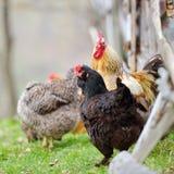 Coq coloré sur le champ au printemps image libre de droits