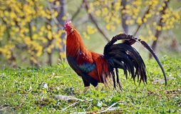 Coq coloré Photographie stock libre de droits
