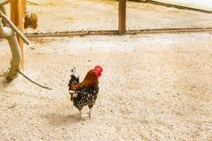 Coq - coq, symbole de nouveau 2017 Photographie stock libre de droits