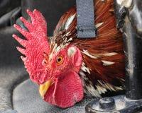 Coq d'équitation Images libres de droits
