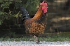 Coq dans la ferme Image libre de droits