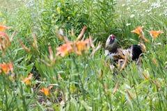 Coq dans le buisson Image stock