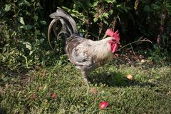 Coq dans le jardin Photo libre de droits