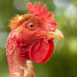 Coq, dans le plan rapproch? principal du poulet de stylo photographie stock