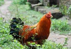 Coq dans les broussailles Photographie stock