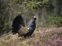 Coq de bruyière masculin se tenant sur la vue de côté de bruyère Image stock