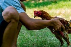 Coq de combat de la Thaïlande Image libre de droits