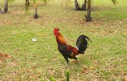 Coq de combat sur la pelouse verte Photographie stock libre de droits
