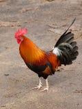 Coq de Kaua'i Image libre de droits