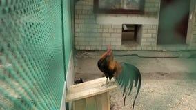Coq de la cage au zoo banque de vidéos