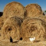 Coq de poulet à une ferme dans une cour de volaille images libres de droits