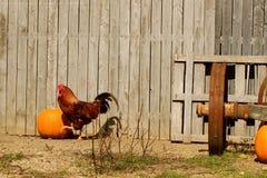 Coq en automne Photo stock