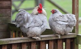 Coq et poule Photo stock