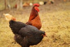 Coq et poule Images libres de droits