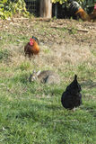 Coq et poule dans la ferme Photo libre de droits