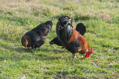 Coq et poule dans la ferme Photos stock