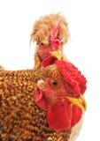 Coq et poule de Brown Images libres de droits