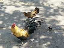 Coq et poule et poussins Images libres de droits
