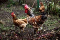Coq et poulet à la maison image libre de droits