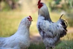 Coq et poulet blancs sur la pelouse Foyer sélectif sur le chicke Images libres de droits