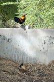 Coq et poulet colorés Photographie stock libre de droits