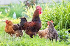 Coq et poulets à l'arrière-plan de la verdure dans le jardin de photographie stock