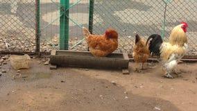 Coq et poulets à la ferme