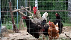 Coq et poulets dans un pré banque de vidéos