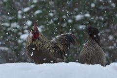 Coq et poulets de vieille race résistante Hedemora de Suède sur la neige dans le paysage hivernal photo libre de droits