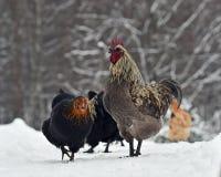 Coq et poulets peignés bleus de vieille race résistante Hedemora de Suède sur la neige dans le paysage hivernal photographie stock libre de droits
