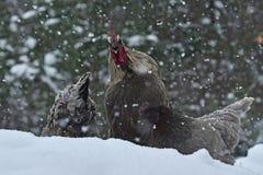 Coq et poulets rappelants de vieille race résistante Hedemora de Suède sur la neige dans le paysage hivernal images stock