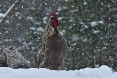 Coq et poulets rappelants de vieille race résistante Hedemora de Suède sur la neige dans le paysage hivernal photos stock