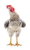 Coq gris images libres de droits