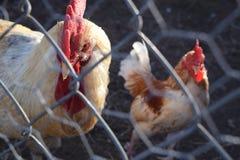 Coq malfaisant Photos libres de droits