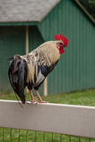 Coq marchant sur la barrière Photo stock