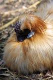 Coq nain chinois de Silkie Photos libres de droits