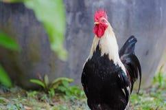 Coq nain dans le jardin Photos stock