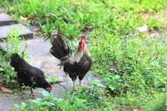 Coq nain en Thaïlande Photos stock