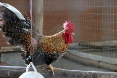 Coq nain se tenant sur le rondin c'est un poulet d'une petite race images libres de droits
