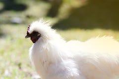 Coq nain soyeux masculin blanc dans la ferme Photographie stock