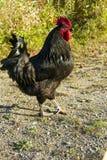 Coq noir Photos stock