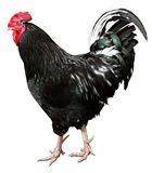 Coq noir d'isolement sur un fond blanc Image stock
