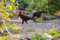 Coq ou coq de combat coloré dans la ferme Images libres de droits