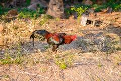 Coq ou coq de combat coloré dans la ferme Images stock