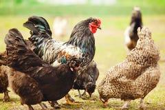 Coq parmi des poulets dans le plan rapproché de jardin photographie stock