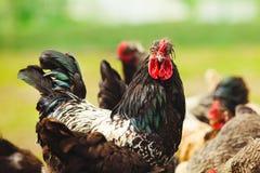 Coq parmi des poulets dans le plan rapproché de jardin photo libre de droits