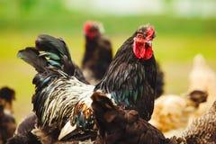 Coq parmi des poulets dans le plan rapproché de jardin image stock